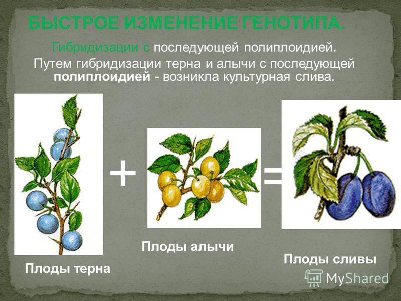 БЫСТРОЕ ИЗМЕНЕНИЕ ГЕНОТИПА. Гибридизации с последующей полиплоидией. Путем гибридизации терна и алычи с последующей полиплоидией - возникла культурная слива. Плоды сливы Плоды алычи Плоды терна + =