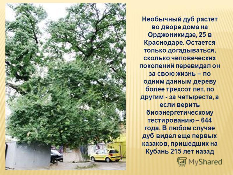 Необычный дуб растет во дворе дома на Орджоникидзе, 25 в Краснодаре. Остается только догадываться, сколько человеческих поколений перевидал он за свою жизнь – по одним данным дереву более трехсот лет, по другим - за четыреста, а если верить биоэнерге