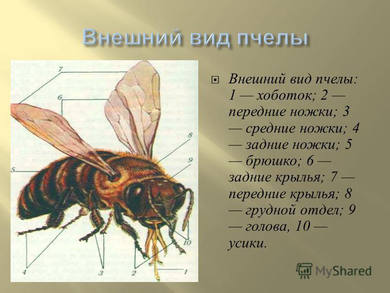 Внешний вид пчелы : 1 хоботок ; 2 передние ножки ; 3 средние ножки ; 4 задние ножки ; 5 брюшко ; 6 задние крылья ; 7 передние крылья ; 8 грудной отдел ; 9 голова, 10 усики.