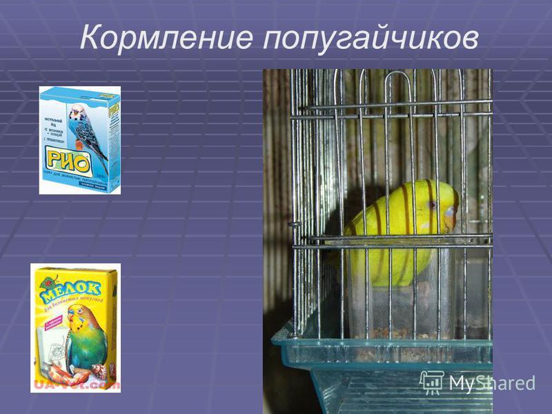 Кормление попугайчиков