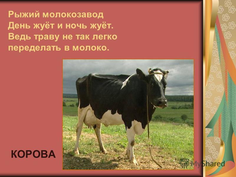 Рыжий молокозавод День жуёт и ночь жуёт. Ведь траву не так легко переделать в молоко. КОРОВА