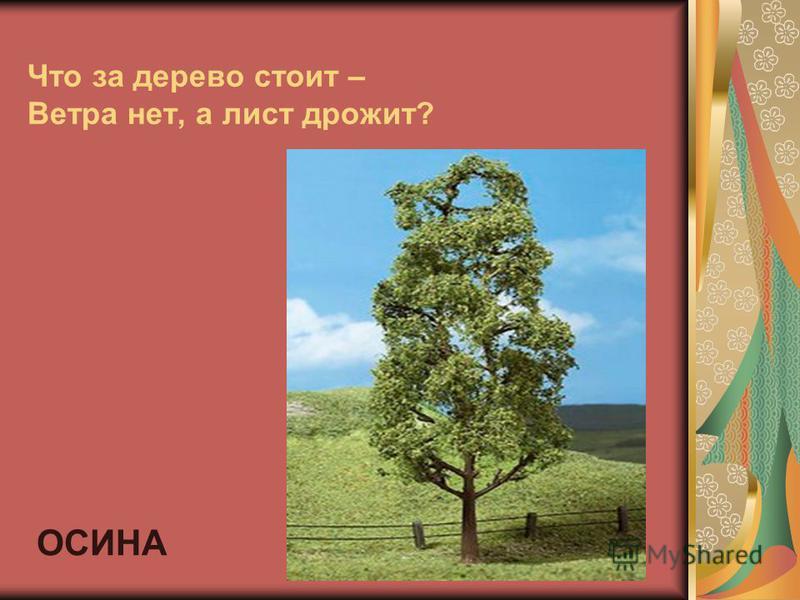 Что за дерево стоит – Ветра нет, а лист дрожит? ОСИНА