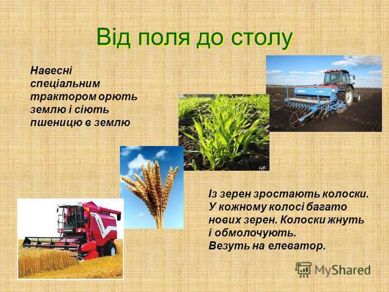 Це зерно-пшениця