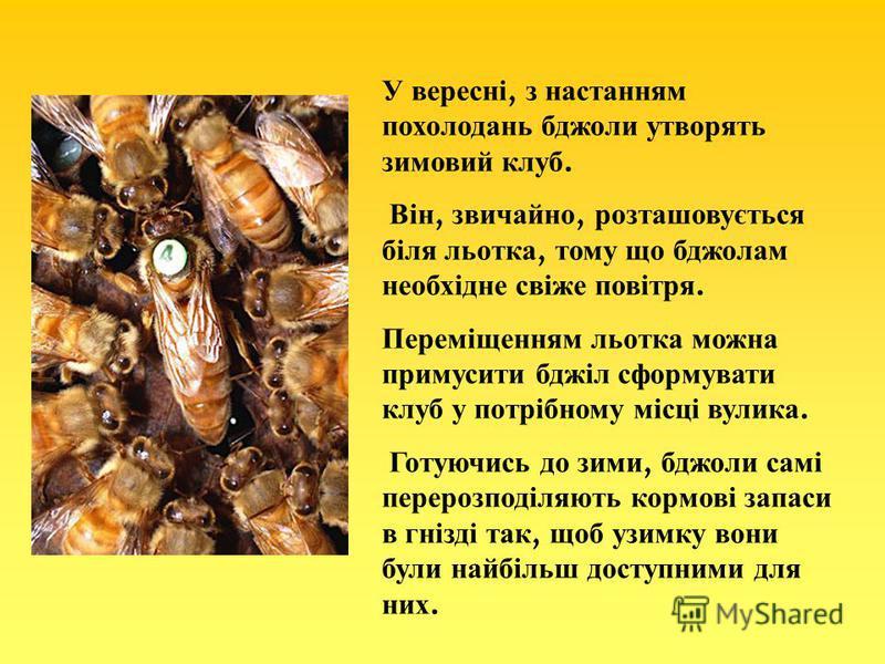 У вересні, з настанням похолодань бджоли утворять зимовий клуб. Він, звичайно, розташовується біля льотка, тому що бджолам необхідне свіже повітря. Переміщенням льотка можна примусити бджіл сформувати клуб у потрібному місці вулика. Готуючись до зими