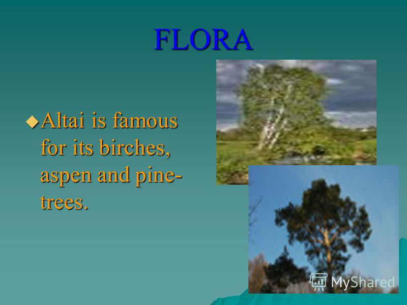FLORA Altai is famous for its birches, aspen and pine- trees. Altai is famous for its birches, aspen and pine- trees.