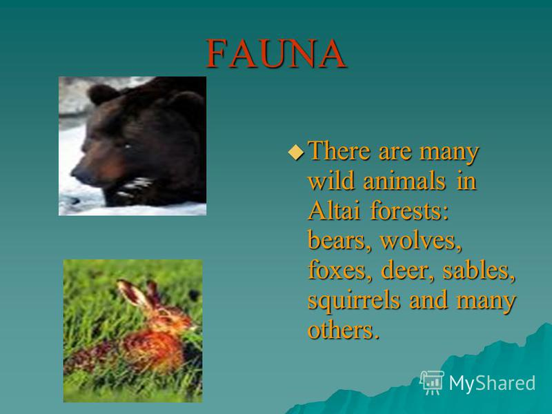 FAUNA There are many wild animals in Altai forests: bears, wolves, foxes, deer, sables, squirrels and many others. There are many wild animals in Altai forests: bears, wolves, foxes, deer, sables, squirrels and many others.