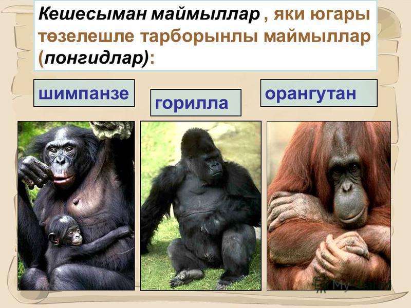 23 Маймыллар: семялыклары 1. Мартышка. 2. Гиббон һәм сиаманг. 3. Понгидлар (гоминид). (горилла, шимпанзе, орангутан). 4. Цебидлар. 5.Уенчак маймыллар.