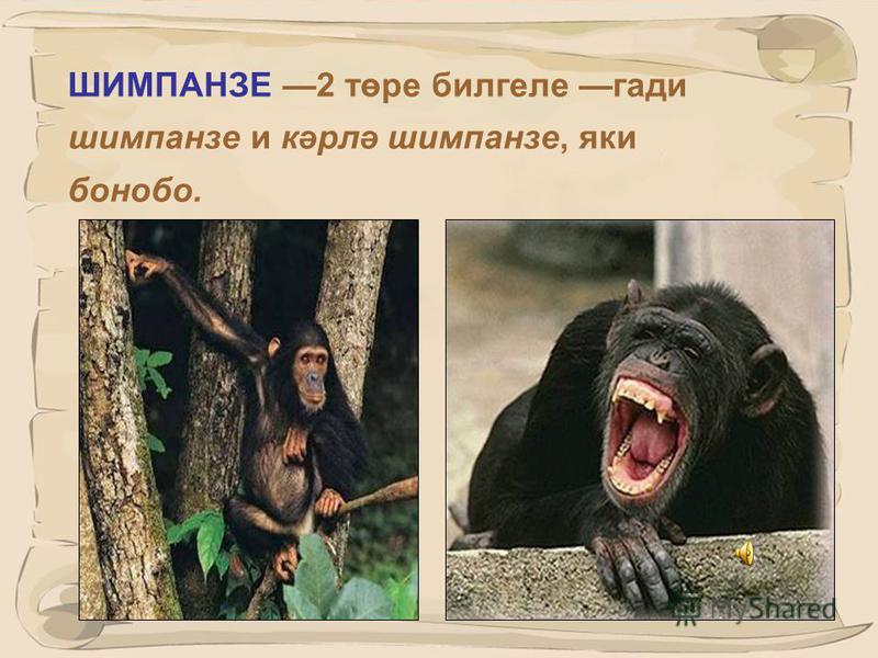 24 Кешесыман маймыллар, яки югары төзелешле тарборынлы маймыллар (понгидлар): горилла шимпанзеорангутан