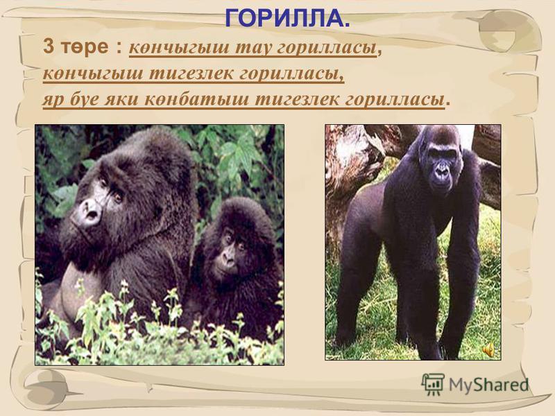 25 ШИМПАНЗЕ 2 төре билгеле гади шимпанзе и кәрлә шимпанзе, яки бонобо.