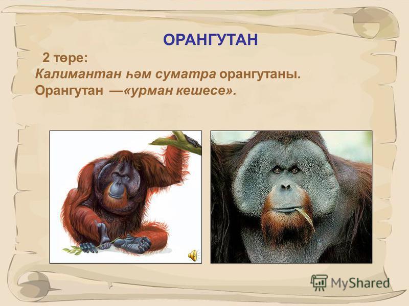 26 ГОРИЛЛА. 3 төре : көнчыгыш тау горилласы, көнчыгыш тигезлек горилласы, яр буе яки көнбатыш тигезлек горилласы.