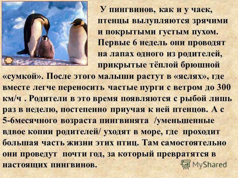 «сумкой». После этого малыши растут в «яслях», где вместе легче переносить частые пурги с ветром до 300 км/ч. Родители в это время появляются с рыбой лишь раз в неделю, постепенно приучая к ней птенцов. А с 5-6 месячного возраста пингвинята /уменьшен