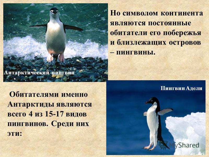 Антарктический пингвин Пингвин Адели Но символом континента являются постоянные обитатели его побережья и близлежащих островов – пингвины. Обитателями именно Антарктиды являются всего 4 из 15-17 видов пингвинов. Среди них эти: