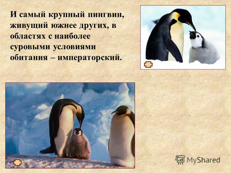 И самый крупный пингвин, живущий южнее других, в областях с наиболее суровыми условиями обитания – императорский.