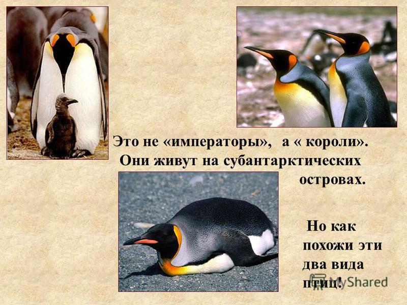 Это не «императоры», Но как похожи эти два вида птиц! а « короли». Они живут на субантарктических островах.