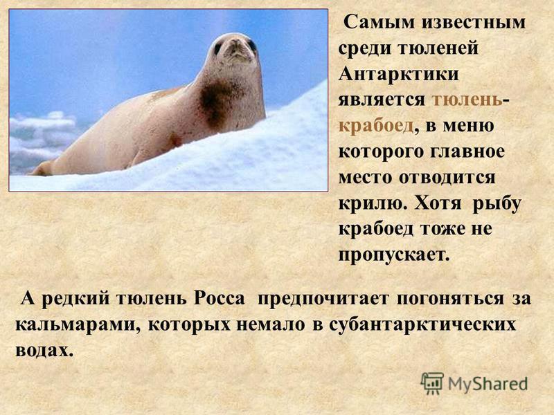 Самым известным среди тюленей Антарктики является тюлень- крабоед, в меню которого главное место отводится крилю. Хотя рыбу крабоед тоже не пропускает. А редкий тюлень Росса предпочитает погоняться за кальмарами, которых немало в субантарктических во