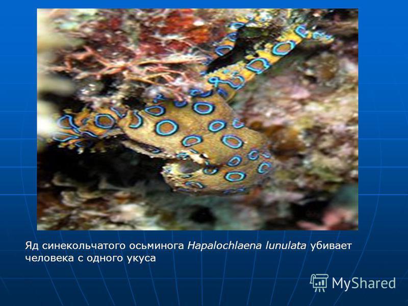 Яд сине кольчатого осьминога Hapalochlaena lunulata убивает человека с одного укуса