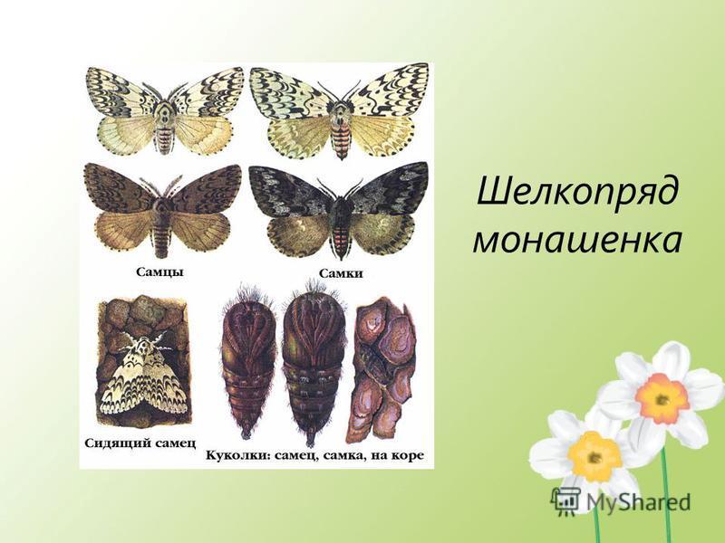 Шелкопряд монашенка