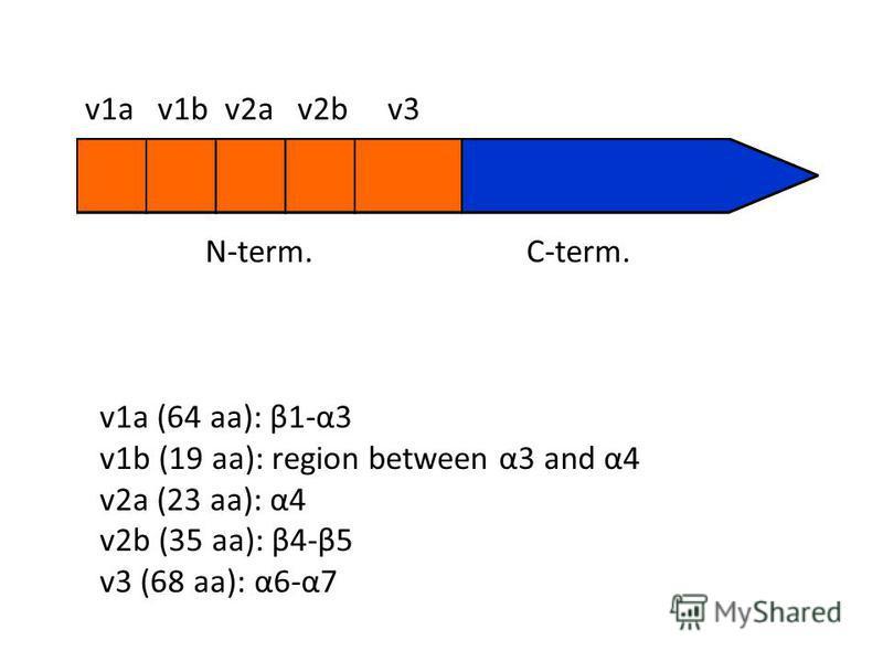 N-term.C-term. v1a v1b v2a v2b v3 v1a (64 aa): β1-α3 v1b (19 aa): region between α3 and α4 v2a (23 aa): α4 v2b (35 aa): β4-β5 v3 (68 aa): α6-α7