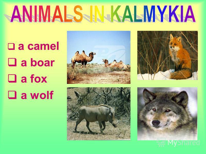 a camel a boar a fox a wolf