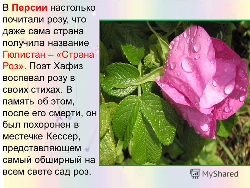 По персидским сказаниям, роза была подарком самого Аллаха. Явились к нему однажды все цветы с просьбой назначить им нового повелителя вместо сонного лотоса, тот хотя и был красив, но часто забывал о своих обязанностях. Аллах внял их просьбе и назначи