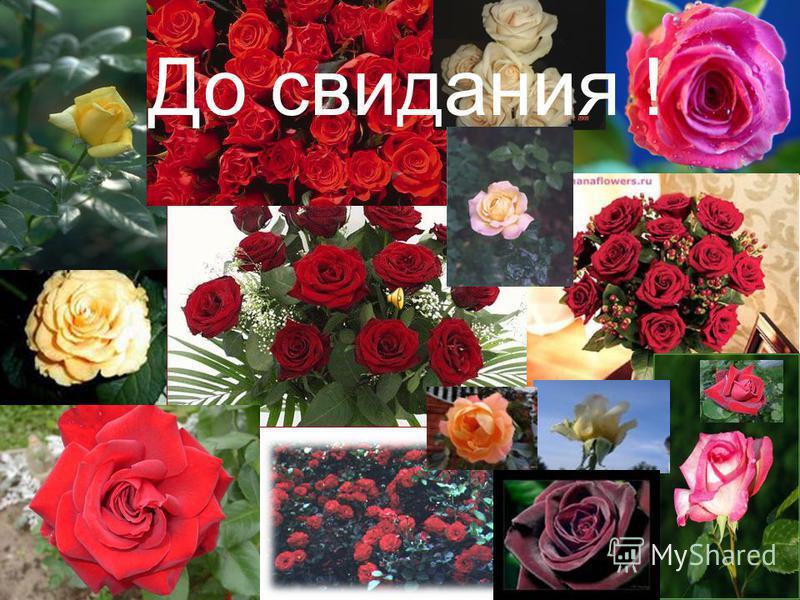 Общий вывод: Таким образом, наша гипотеза полностью подтвердилась и мы смело говорим: «Роза – царица цветов потому, что она очень красива, имеет чудесный аромат. Несет собой любовь, величие и нежность. Даже колючие шипы придают ей еще большую красоту