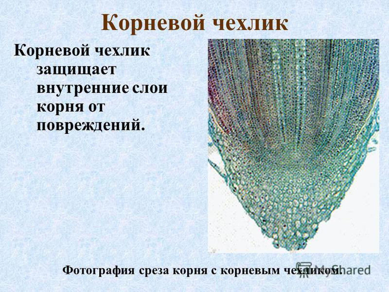 Корневой чехлик Корневой чехлик защищает внутренние слои корня от повреждений. Фотография среза корня с корневым чехликом.
