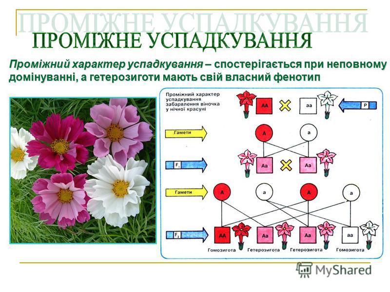 Третій закон Менделя (незалежного успадкування ознак) Третій закон Менделя (незалежного успадкування ознак) розщеплення (успадкування) за кожною парою ознак відбувається незалежно від інших пар ознак, якщо вони визначаються генами різних пар хромосом