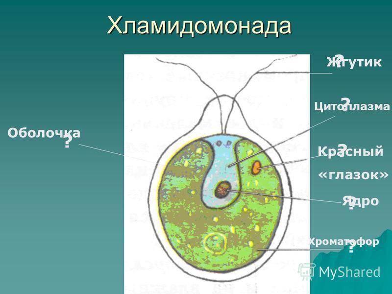 Хламидомонада ? ? ? ? ? ? Оболочка Жгутик Цитоплазма Красный «глазок» Ядро Хроматофор