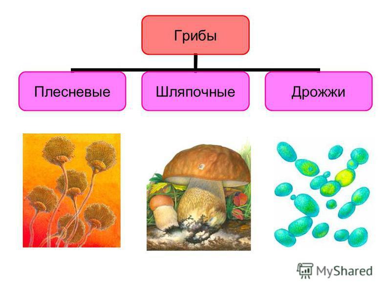 У многоклеточных организмов, в отличие от бактерий и простейших, тела построены из множества клеток. Существуют многоклеточные : - грибы, - растения, - животные. У многоклеточных организмов, в отличие от бактерий и простейших, тела построены из множе