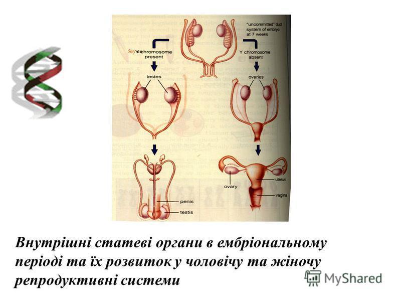 Внутрішні статеві органи в ембріональному періоді та їх розвиток у чоловічу та жіночу репродуктивні системи Sry on