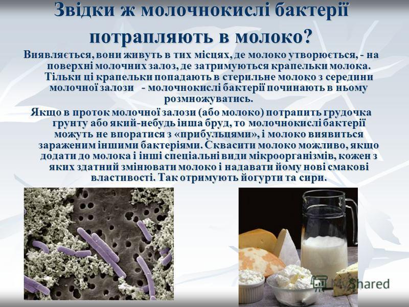 Звідки ж молочнокислі бактерії потрапляють в молоко? Виявляється, вони живуть в тих місцях, де молоко утворюється, - на поверхні молочних залоз, де затримуються крапельки молока. Тільки ці крапельки попадають в стерильне молоко з середини молочної за
