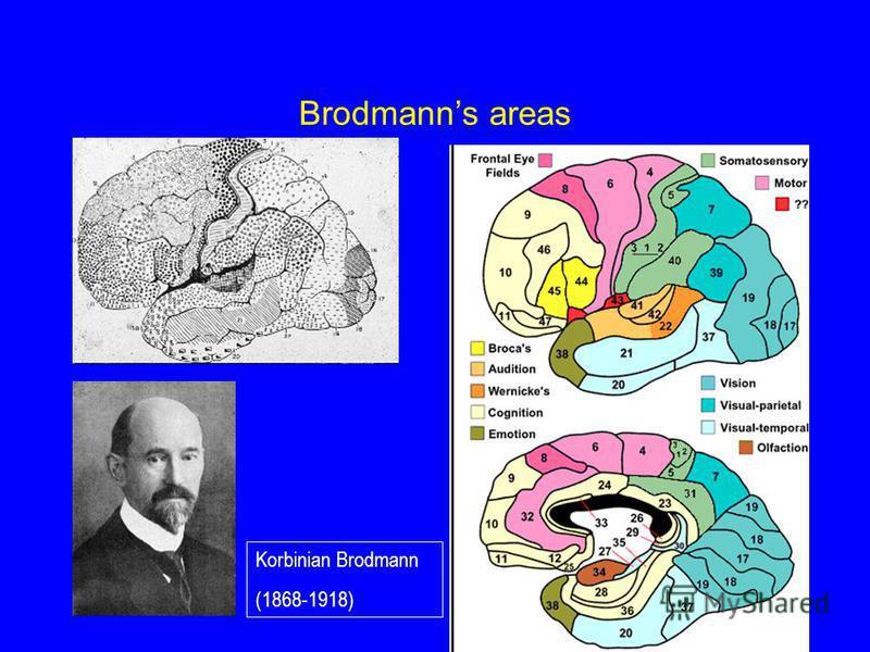 Brodmanns areas Korbinian Brodmann (1868-1918)
