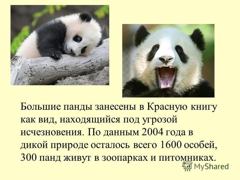 Большие панды занесены в Красную книгу как вид, находящийся под угрозой исчезновения. По данным 2004 года в дикой природе осталось всего 1600 особей, 300 панд живут в зоопарках и питомниках.