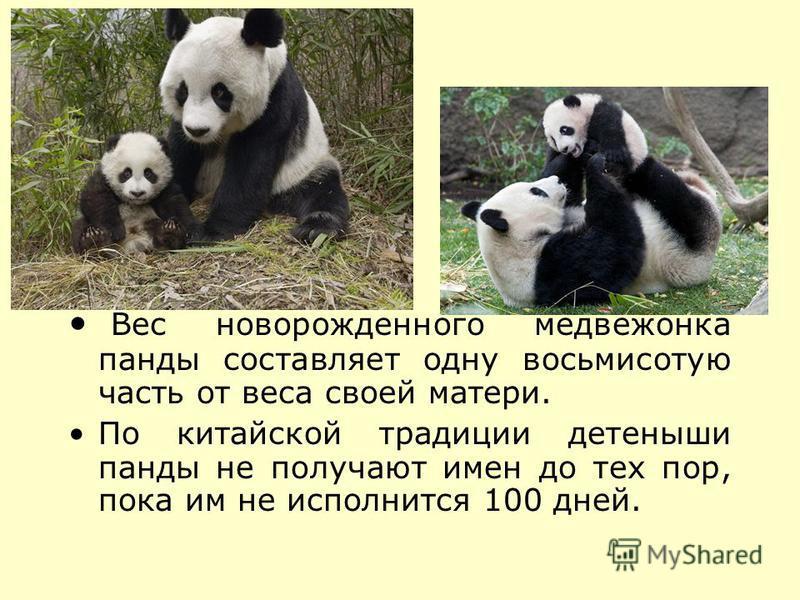 Вес новорожденного медвежонка панды составляет одну восьмисотую часть от веса своей матери. По китайской традиции детеныши панды не получают имен до тех пор, пока им не исполнится 100 дней.