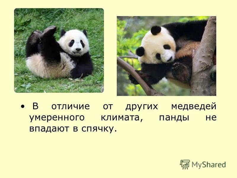 В отличие от других медведей умеренного климата, панды не впадают в спячку.