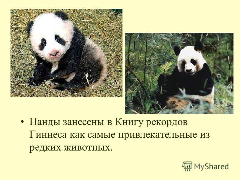 Панды занесены в Книгу рекордов Гиннеса как самые привлекательные из редких животных.