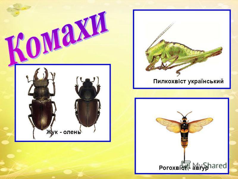 Жук - олень Пилкохвіст український Рогохвіст - авгур