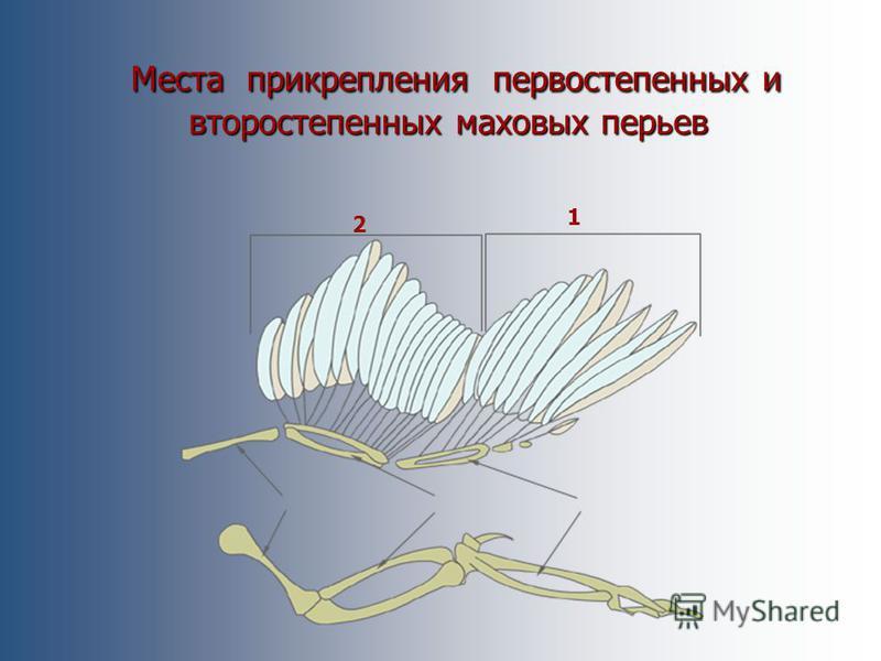 Маховые перья Маховые перья