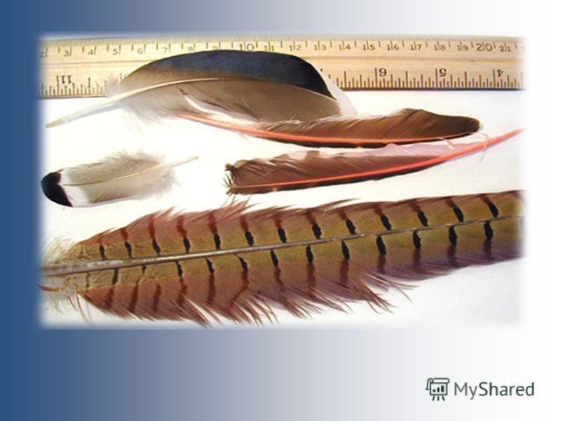 Пуховые перья Контурные маховые перья Рулевые,кроющие контурные перья