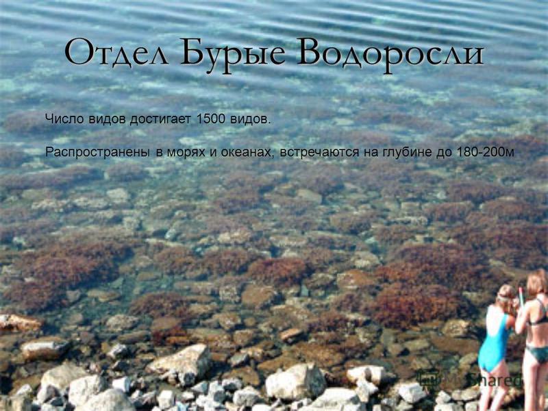 Отдел Бурые Водоросли Число видов достигает 1500 видов. Распространены в морях и океанах, встречаются на глубине до 180-200 м