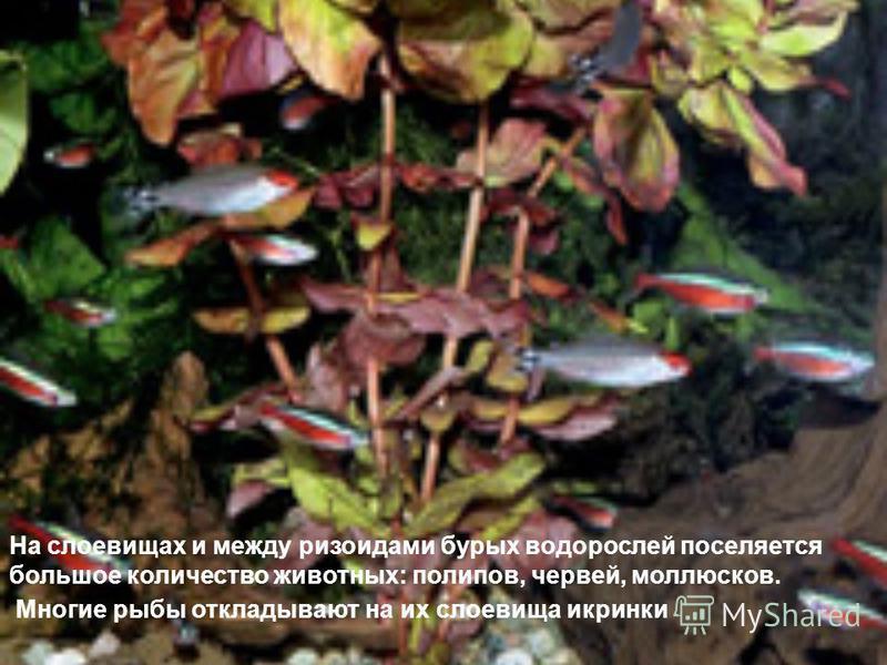 На слоевищах и между ризоидами бурых водорослей поселяется большое количество животных: полипов, червей, моллюсков. Многие рыбы откладывают на их слоевища икринки