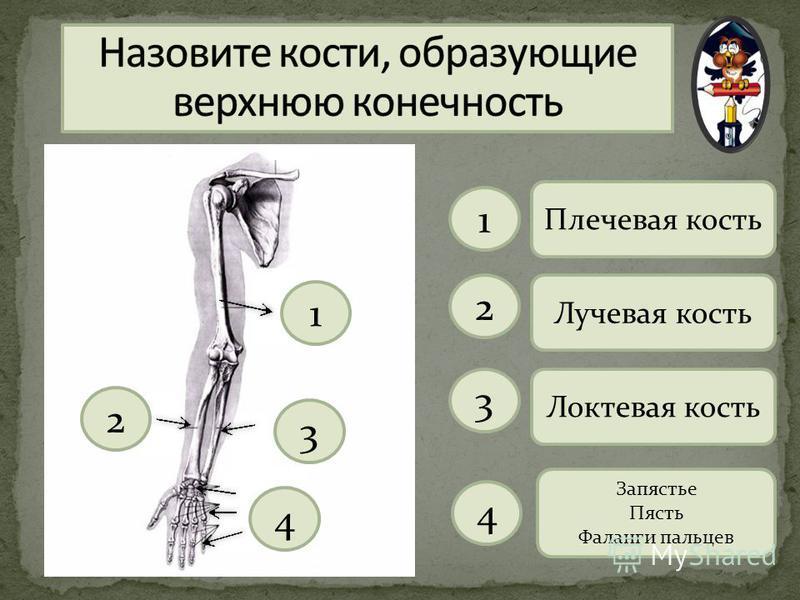 1 2 3 4 Плечевая кость 1 Лучевая кость 2 Локтевая кость 3 Запястье Пясть Фаланги пальцев 4
