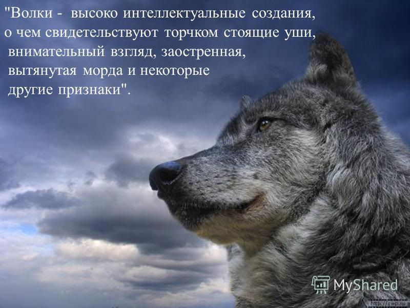 Волки - высоко интеллектуальные создания, о чем свидетельствуют торчком стоящие уши, внимательный взгляд, заостренная, вытянутая морда и некоторые другие признаки.