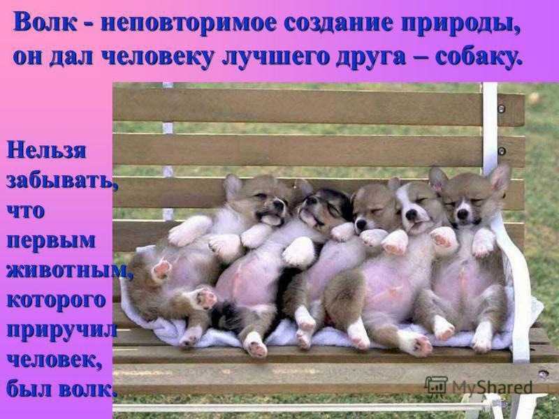 Волк - неповторимое создание природы, он дал человеку лучшего друга – собаку. Нельзя забывать, что первым животным, которого приручил человек, был волк.