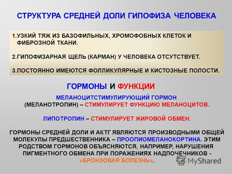 СТРУКТУРА СРЕДНЕЙ ДОЛИ ГИПОФИЗА ЧЕЛОВЕКА 1. УЗКИЙ ТЯЖ ИЗ БАЗОФИЛЬНЫХ, ХРОМОФОБНЫХ КЛЕТОК И ФИБРОЗНОЙ ТКАНИ. 2. ГИПОФИЗАРНАЯ ЩЕЛЬ (КАРМАН) У ЧЕЛОВЕКА ОТСУТСТВУЕТ. 3. ПОСТОЯННО ИМЕЮТСЯ ФОЛЛИКУЛЯРНЫЕ И КИСТОЗНЫЕ ПОЛОСТИ. ГОРМОНЫ И ФУНКЦИИ МЕЛАНОЦИТСТИМУ