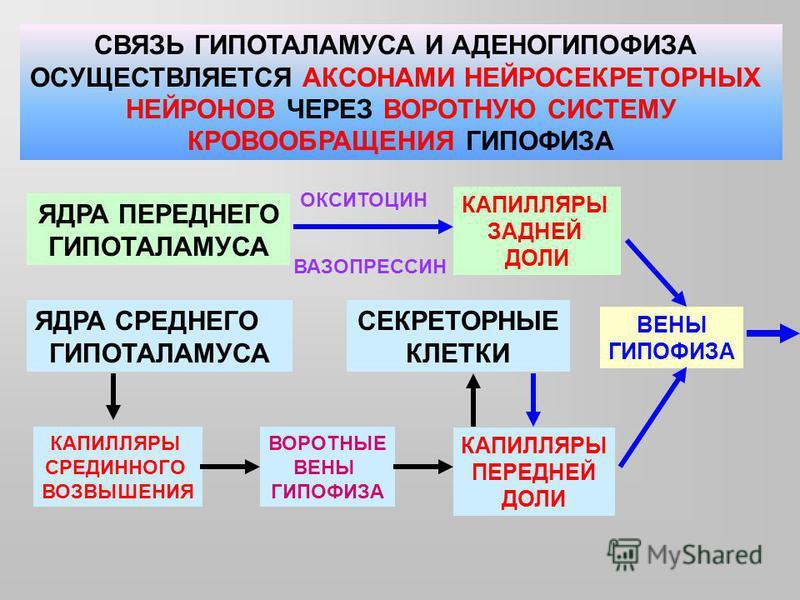 СВЯЗЬ ГИПОТАЛАМУСА И АДЕНОГИПОФИЗА ОСУЩЕСТВЛЯЕТСЯ АКСОНАМИ НЕЙРОСЕКРЕТОРНЫХ НЕЙРОНОВ ЧЕРЕЗ ВОРОТНУЮ СИСТЕМУ КРОВООБРАЩЕНИЯ ГИПОФИЗА ЯДРА ПЕРЕДНЕГО ГИПОТАЛАМУСА КАПИЛЛЯРЫ ЗАДНЕЙ ДОЛИ ЯДРА СРЕДНЕГО ГИПОТАЛАМУСА КАПИЛЛЯРЫ СРЕДИННОГО ВОЗВЫШЕНИЯ ВОРОТНЫЕ