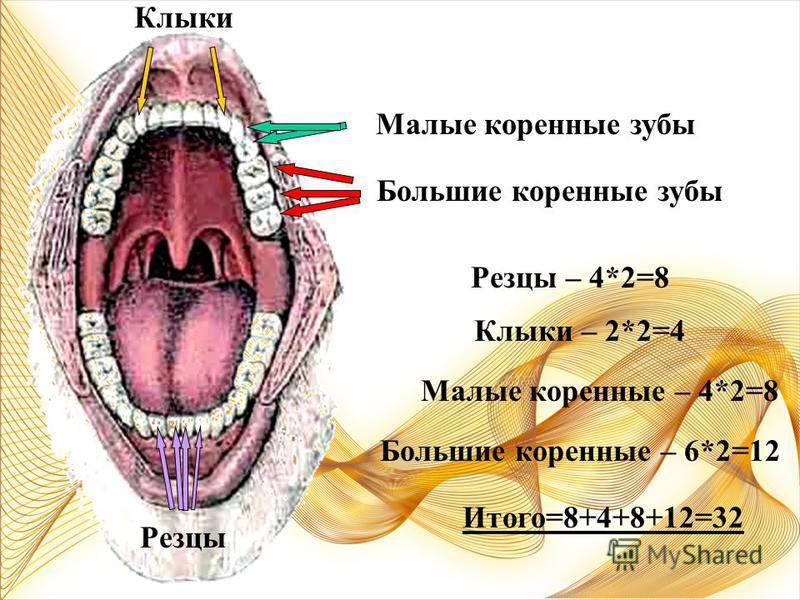 Постоянные зубы (32 шт) ВЕРХНИЕ НИЖНИЕ РЕЗЦЫ –4 шт КЛЫКИ –2 шт МАЛЫЕ КОРЕННЫЕ-4 шт МАЛЫЕ КОРЕННЫЕ-4 шт БОЛЬШИЕ КОРЕННЫЕ-6 шт БОЛЬШИЕ КОРЕННЫЕ-6 шт