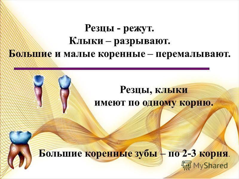 Большие коренные зубы Малые коренные зубы Клыки Резцы Резцы – 4*2=8 Клыки – 2*2=4 Малые коренные – 4*2=8 Большие коренные – 6*2=12 Итого=8+4+8+12=32