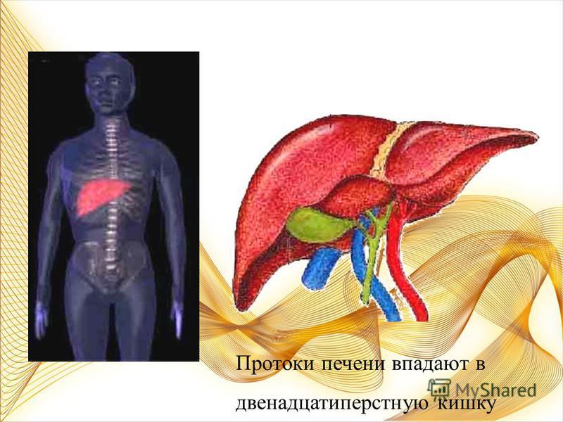 Окончательное переваривание пищи и всасывание питательных веществ в кровь. Тонкая кишка Длина около 4,5 м.