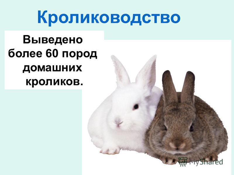 Кролиководство Выведено более 60 пород домашних кроликов.